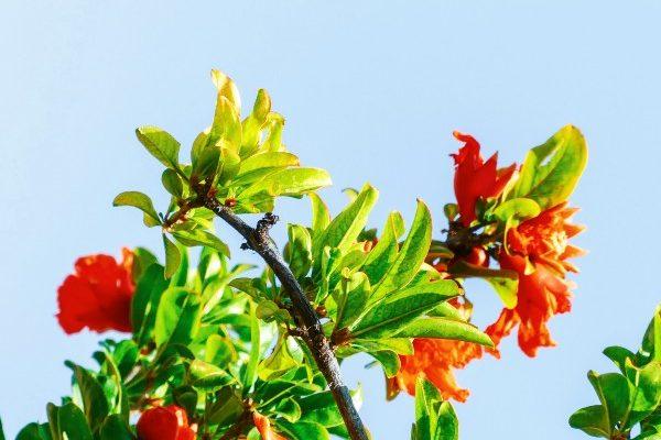 Granatapfel Blüten Wonderful