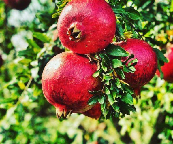 Granatapfel der Sorte Wonderful am Baum