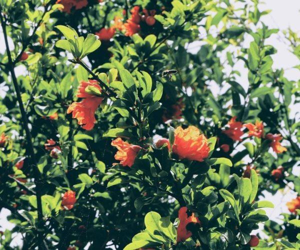 Granatapfel Baum in Ermioni Griechenland