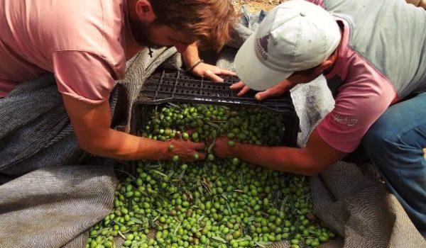 Ernte des Thallon Olivenöl
