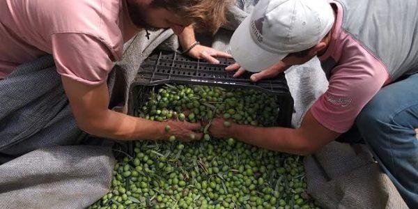 Bei der Ernte des Thallon Olivenöls