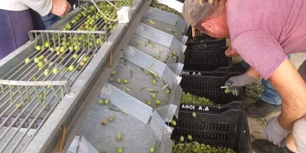 Bei ausortieren der Oliven