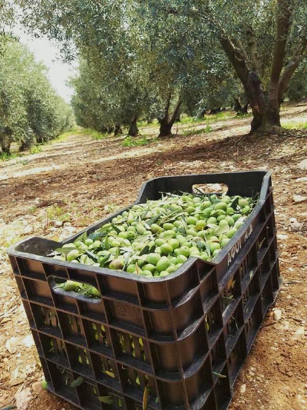 Oliven Chontroelia im Feld