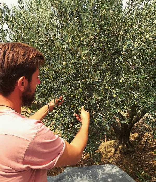 Dimitri bei der Ernte des Olivenöl Thallon