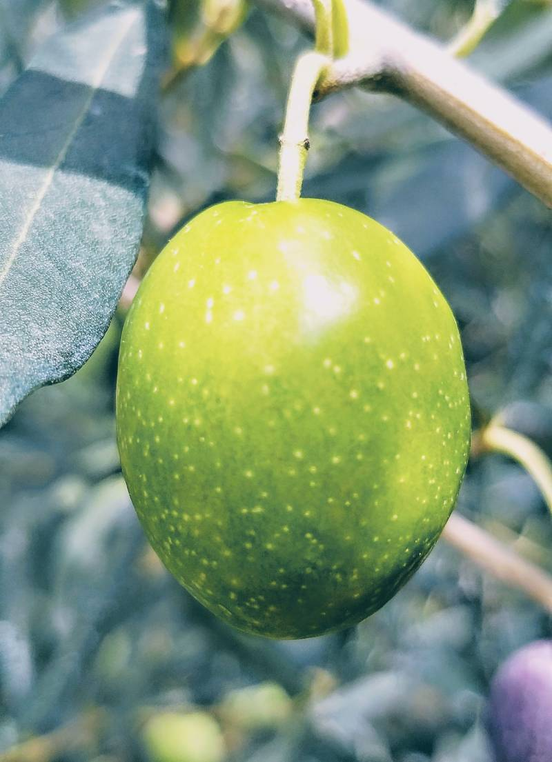 Die Chontroelia Oliven Sorte
