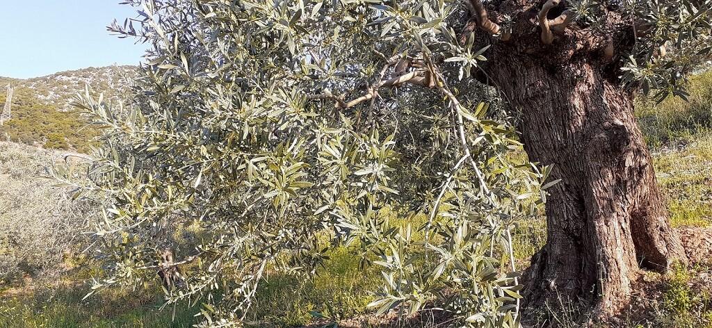 Manaki Olivenbaum in Ermioni