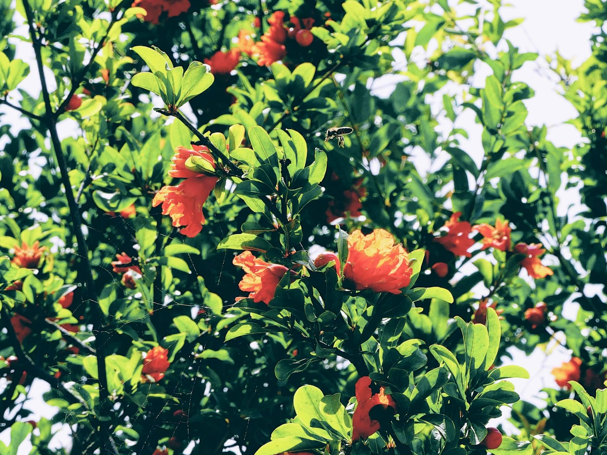 Granatapfelbaum von Physi
