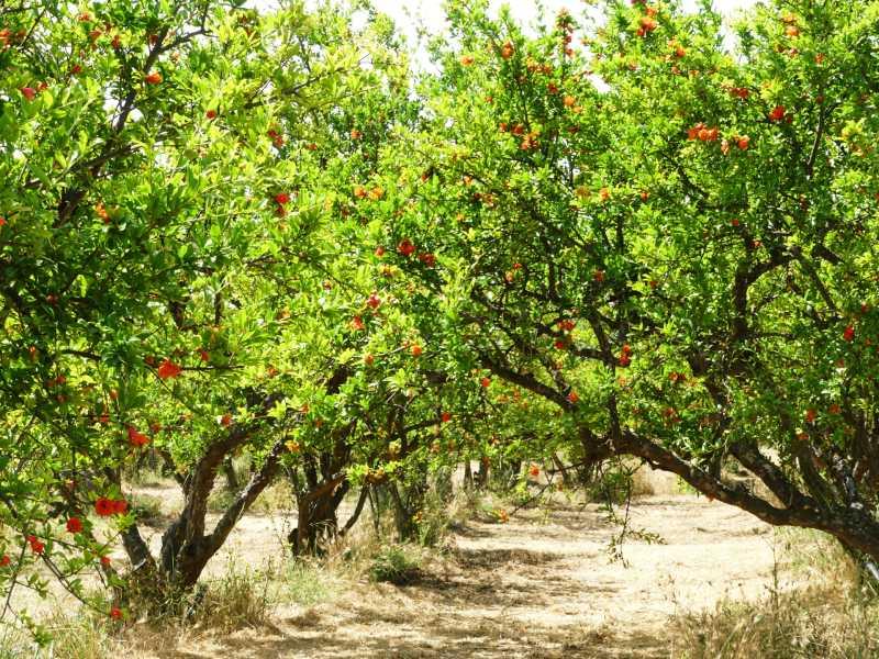 Granatapfel Plantage Physi